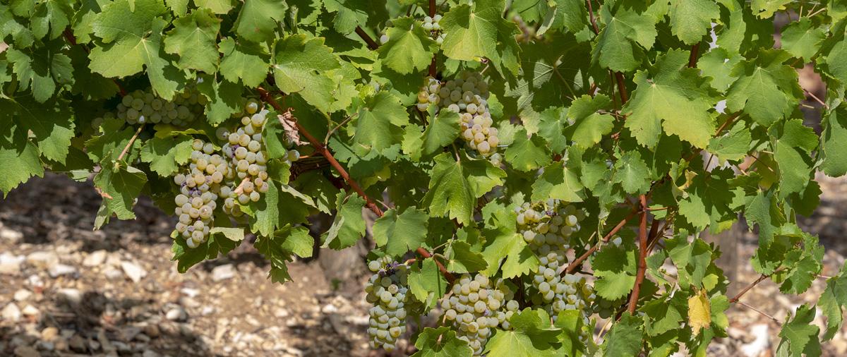 Vignes et raisins